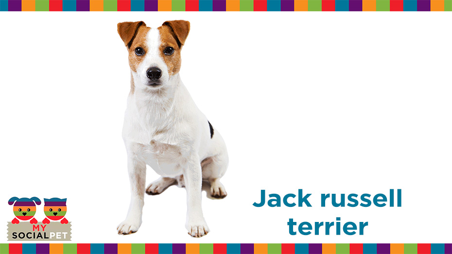 Jack russell terrier razza origine carattere cure for Carattere jack russel