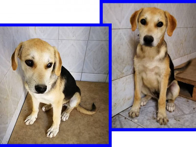 ROGER adorabile simil beagle