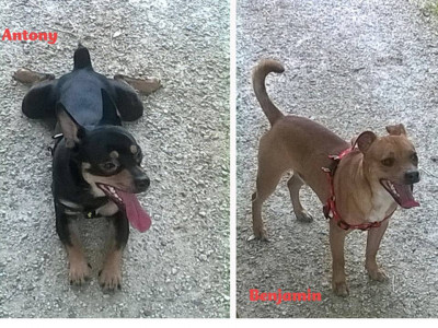 ANTHONY e BENJAMIN adorabili mix pinscher!