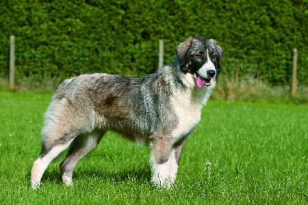 Romanian carpathian sheperd dog