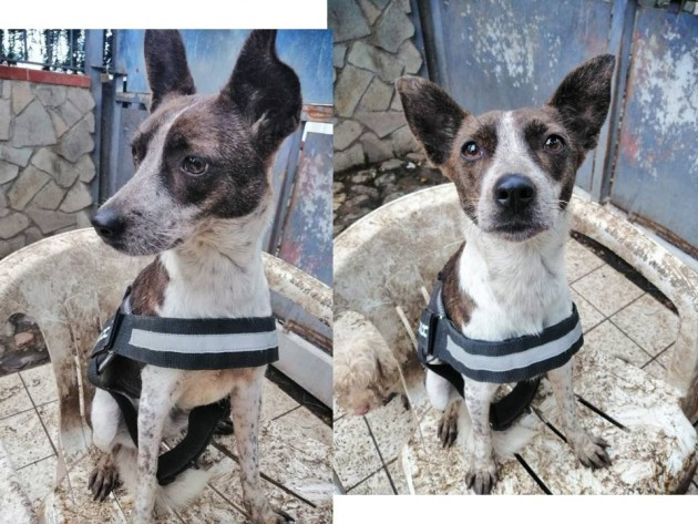 Foto di GINGER dolce simil jack russell