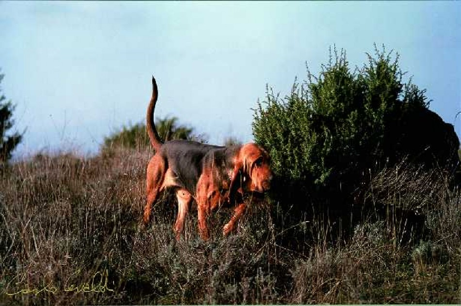 Bloodhound (chien de sainthubert)