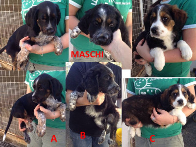 3 cuccioli mix past.maremm/bovaro bernese
