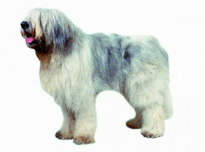 Romanian mioritic sheperd dog