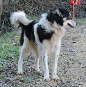 MILLY... SIMIL BORDER COLLIE