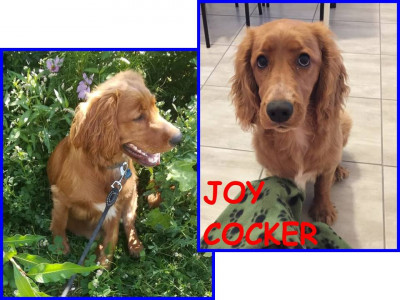 JOY COCKER stupendo cucciolone
