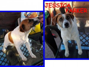JESSICA PARKER jack russell pura